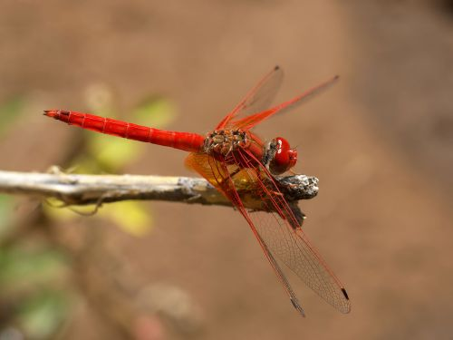 Kirby's Dropwing Dragonfly - found in South Africa.